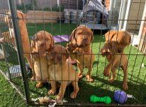 """""""Adorabe Dogue De Bordeaux"""" šuniukai"""