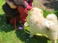Žavingi Čiau Čiau šuniukai