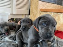 Žavūs dogų šuniukai
