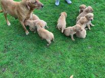 Žavingi Labradoro retriverio šuniukai