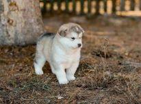 Galima įsigyti Aliaskos malamutų šuniukų.