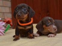 Miniatiūriniai taksų šuniukai