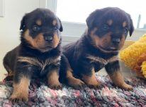 Grynaveisliai Rottweiller šuniukai naujiems namams.