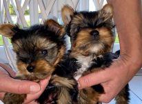 Žavingi išskirtiniai Jorkšyro terjerų šuniukai