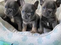 Galimi gražūs prancūzų buldogo šuniukai.