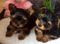 Galimi gražūs Jorkšyro šuniukai