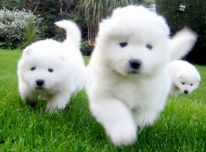 Parduodami samojedų šuniukai