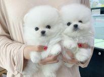 Gražūs baltieji Pomeranijos jaunikliai