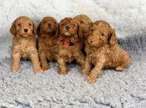 Sveiki Cockapoo šuniukai