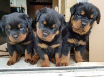 Gražūs stambūs rotveilerių šuniukai