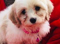 "Cavachon Puppy""."