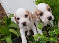 Gražūs Biglio šuniukai.