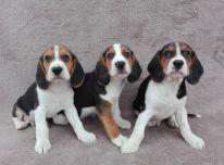 Gražūs Biglio šuniukai jau paruošti