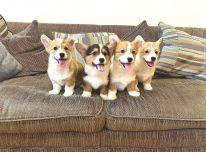 Pembroke Velso kamštienos šuniukai