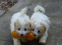 Coton De Tulear šuniukai