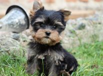 Turime du patinus ir vieną patelę Jorkšyro terjero šuniukų, ieškančių naujų namų