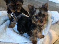 gražūs Jorkšyro šuniukai