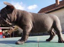 žavingi prancūzų buldogų šuniukai ieško naujų namų