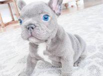 namuose auginami prancūzų buldogų šuniukai