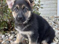 galimi apsauginiai vokiečių aviganių šuniukai.