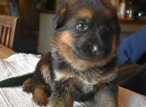 Parduodami žavūs vokiečių aviganių šuniukai.