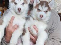 registruoti Sibiro haskių šuniukai