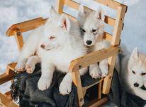 great siberian husky