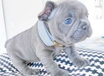 mėlynų akių prancūzų buldogų šuniukas