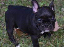 juodai baltas prancūzų buldogų šuniukas