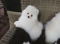 Pamario šuniukai