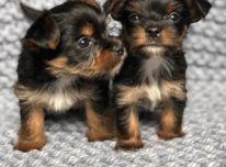 Jorkšyro terjero šuniukai