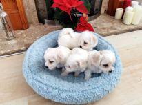 Gražūs maltiečių šuniukai
