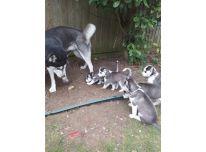 Sibiro haskių šuniukai