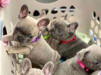 Galimi prancūzų buldogų šuniukai