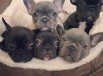 sveiki prancūzų buldogų šuniukai