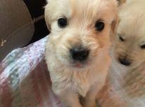 Gražūs auksinio retriverio šuniukai