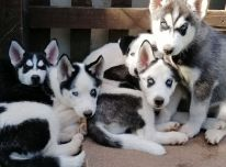 Gražūs Sibiro haskių šuniukai.