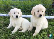Golden retriverio šuniukai