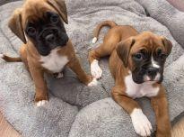 Bokserio šuniukai