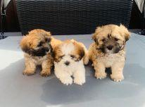 gražūs Malshi šuniukai