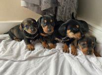 Miniatiūriniai takso šuniukai