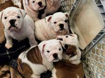 Anglų buldogų šuniukai
