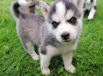 Mieli Sibiro haskių šuniukai