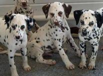 Dalmatinu Šuniukai