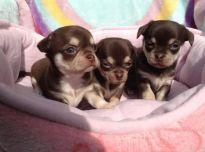 Cihuahua šuniukai