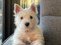 West highland terrier pups for sale