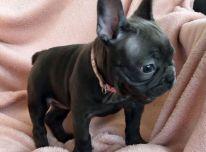 Parduodami prancūziški buldoginiai šuniukai
