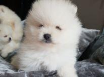 Gražūs Pomaranijos šuniukai