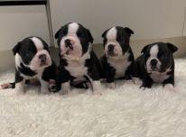 kc registruoti Bostono terjero šuniukai