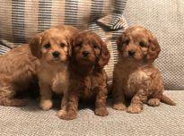 Parduodami grynaveisliai Cavapoo šuniukai